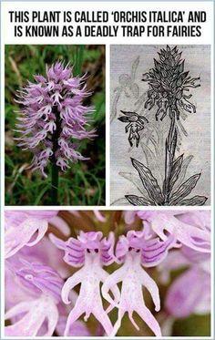 """Planta """"Orquídea Itálica """""""