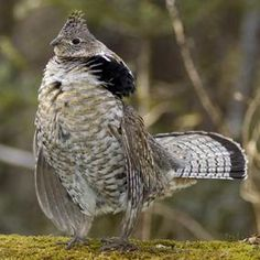 A male Ruffed Grouse