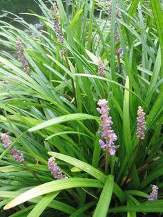 Liriope muscari - Leliegras - De Tuinen van Appeltern