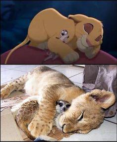 baby lion and meerkat