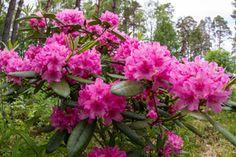 Rhododendron Haaga, Finland by Heikki Rantala