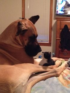 Photo of Emma the Great Dane. She may be big, but Emma loves all animals she meets, including this fostered kitten named Jasmine