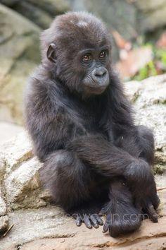 Bomassa Gorilla. North Carolina. October 2013.