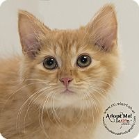 ADOPTED - Jep - located at Miami County Animal Shelter in Troy, Ohio - Male KITTEN Domestic Mediumhair