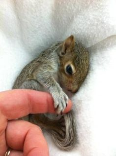 Baby squirrel holding onto humans finger