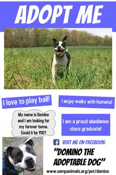 Domino the Adoptable Dog is available for adoption from CompAnimals in Landenberg, PA. #adoptdontshop #domino #pittbulllove