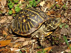 Ornate box turtle~It is a relatively small turtle, that is currently not endangered or threatened but is of concern and protected in six Midwestern states (Colorado, Iowa, Indiana, Nebraska, Kansas, and Wisconsin). Males and females generally look alike but males are often smaller; there is color variation with yellow lines from the center of the shell to the edges through gray, red-brown, or black coloration