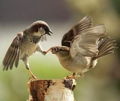 Two sparrows fight for food in Urs Schmidli's garden in Scherz, Switzerland. The male sparrow seems to have had enough of the female's squawking and rudely closed her beak with his tiny talons