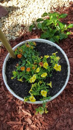 Lemon colored bells along with orange bells planted in a 2.5 gallon bucket.