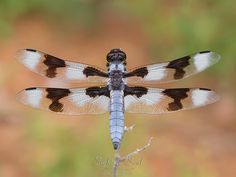Spotted Skimmer Dragonfly Photography, Nature Wall Art, Southwestern Print