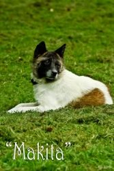 Makita is an adoptable Akita Dog in Charlotte, NC.  Needs home really bad.  contact Edith at end of link.  petfinders  Makita is a very petite akita weighing 45 pounds. She will make a great companion for someone who does not have space for a full sized akita. She al...