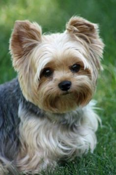 "Yorkshire Terriers, commonly called ""Yorkies"" are little dogs with big personality. Description from pinterest.com. I searched for this on bing.com/images"