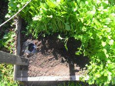 Így ültesd el a paradicsomokat – fotósorozat   Nagybetűs Élet Fruit, Plants, Plant, Planets