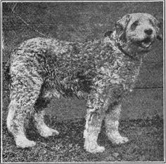 Italian Sheepdog. Dirty yellow, dark shades are not desirable. Height: 23 in.  Weight: 62 lbs. This is a strong, thick-set dog with heavy, somewhat rounded skull. The eyes are hazel color of intelligent expression. Ears are short and hanging, covered with fairly long, straight fur. His back is strong and straight; tail long, carried low and well coated, and the coat is curly and dense, except on the head, where it should be smooth.