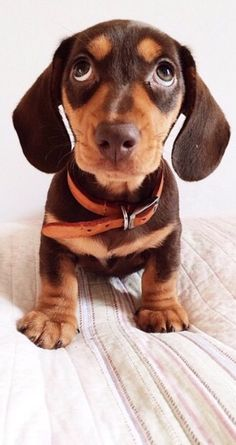 Beautiful dachshund pup, their big brown eyes go right through me! Dachshund Puppies, Weenie Dogs, Dachshund Love, Cute Puppies, Cute Dogs, Dogs And Puppies, Daschund, Doggies, Animals And Pets