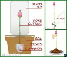 #Regrow #Rose on Potato Cinimon from Cutting-Garden #Tips to Regrow Flowers From Cut Stems