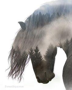 Beautiful...   #forestboyz #friesian #friesianstallion #stallion #horses #horsesofinstagram #equine #equinephotography #bestofequines #pferde #pferdefotografie #photooftheday #lsr_feature #humboldtcounty