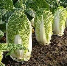 500 Chinese cabbage seeds, green vegetable seeds for healthy bok choy seeds for farm garden plants Most Healthy Vegetables, Top 10 Healthy Foods, Asian Vegetables, Healthy Herbs, Healthiest Foods, Eat Healthy, Healthy Recipes, Cabbage Seeds, Napa Cabbage