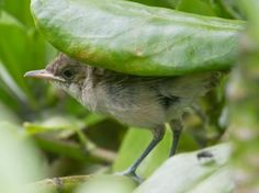 Endangered Millerbird chick on Laysan Island