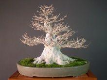他の写真1: カエデ/楓 中品盆栽