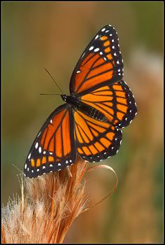 Viceroy butterfly (Limenitis archippus) the black bar on the bottom wings distinguishes it from the monarch butterfly