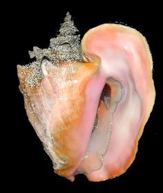 MyFWC's status update. Destination Conservation: Queen Conch Queen conchs could be called the jewel of the sea. The mollusks are as beautiful as an ornament of pearl and diamonds because of their iridescent pearl-white and -pink underside and silver-gray-crusted apex, which resembles a crown.