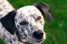 Dog, Dog Portrait Black And White Dalmatian Bla Most Beautiful Dog Breeds, Beautiful Dogs, Dressage, Education Canine, Black And White Dog, Beagle Mix, Purebred Dogs, Dog Activities, Lap Dogs