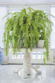 Do you have problems growing Boston fern? Could be the light - they have changing light requirements depending on time of year. Learn more in this article.