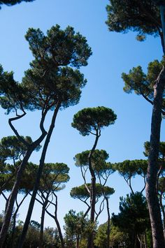 The pine trees of Rome