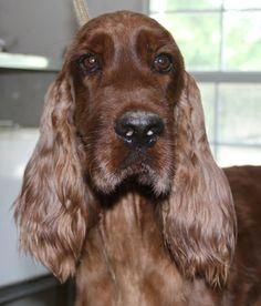 Petfinder  Adoptable | Dog | Irish Setter | Tulsa, OK | Olivia