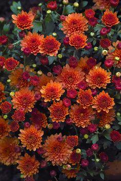 """saatkontor: """" Herbst-Chrysantheme / Costmary, Chinese Aster, Chrysanthemum, Mum, Garden Mum (Chrysanthemum indicum) """""""