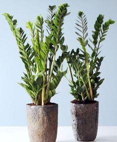 Zamiakalla (Zamioculcas zamiifolia) är den idealiska krukväxten! Den är mycket speciell och en stark planta. De palmliknande bladen har ett tjockt vaxliknande lager som gör att den tål torka väl. Du kan lätt lämna den i både två och tre veckor medan du njuter av din semester! Ställ krukväxten på en varm plats men helst inte direkt i solljus. En vacker inomhusväxt som egentligen inte är en palm även om den är känd som en sådan! Zamiakallan är i Sverige allmänt känd som garderobsblomma!