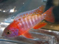 1 Red Peacock African Cichlid For Freshwater live Aquarium fish