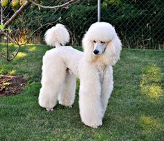 Standard Poodle Clip Styles | The Following User Says Thank You to Olie For This Useful Post: