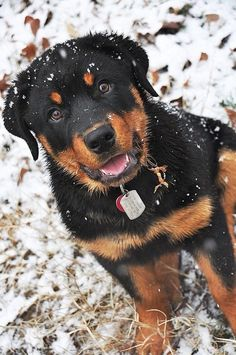 Rottweiler Puppy dogs Rottie