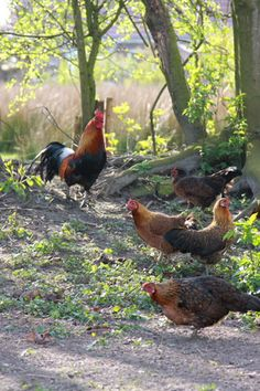 Chickens and rooster.