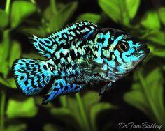 Aquarium Fish for Sale at AquariumFish.net