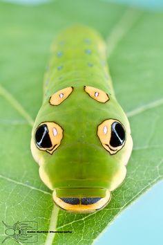 Spicebush swallowtail - Papilio troilus by Colin Hutton on 500px
