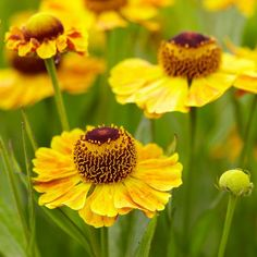 Helenium The Bishop. This helenium's golden yellow, daisy-like blossoms are a magnet for bees and butterflies. Plant in full sun, in mixed borders or naturalized areas. Blooms time is late summer.