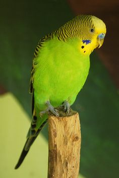BUDGERIGAR - Melopsittacus undulatus . . . Wild budgerigars are usually found to be mostly green in colour . . . Wild throughout the drier parts of Australia