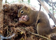 Squirrel is listed (or ranked) 26 on the list The Most Adorable Animal Parenting. - Squirrel is listed (or ranked) 26 on the list The Most Adorable Animal Parenting Moments - Happy Animals, Animals And Pets, Funny Animals, Cute Animals, Cute Squirrel, Baby Squirrel, Squirrels, Wild Animals Pictures, Animal Pictures