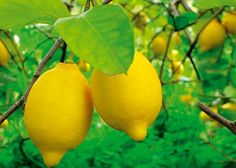 No matter how small your garden, you can grow fruit trees. Even if you don't have a garden and only a balcony, there are dwarf varieties that can be grown in pots.