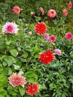 Dahlia Flower Guide