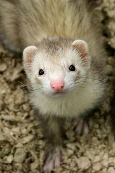 Ferrets are so playful
