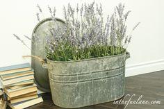 Love lavender: in a repurposed old tub