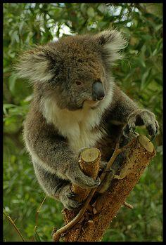 Koala, Near Eumundi, Queensland, Australia