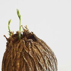 キリマンようやく起きる #Dolichos #kilimandscharicus #caudex #コーデックス #plants #植物