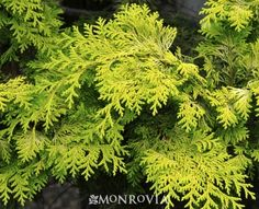 Monrovia's Golden Hinoki False Cypress details and information. Learn more about Monrovia plants and best practices for best possible plant performance.