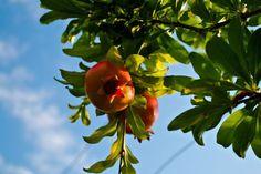 Come coltivare gli alberi da frutto in vaso - http://www.edendeifiori.it/2824/coltivare-gli-alberi-frutto-vaso.php
