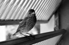Passarinho, Janela, Bird